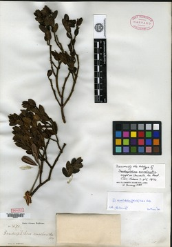 Image of Dendrophthora sessilifolia