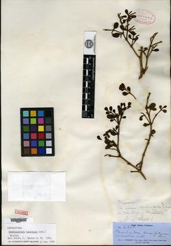 Image of Dendrophthora buxifolia