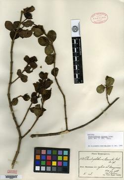 Image of Dendrophthora ternata