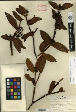 Image of Phoradendron dipterum