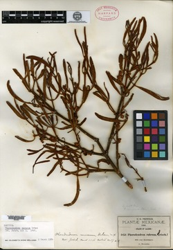 Image of Phoradendron carneum