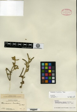 Image of Phoradendron lanatum