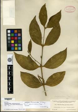 Image of Phoradendron chrysocladon