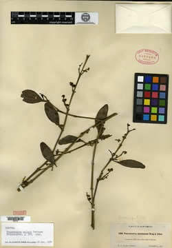 Image of Phoradendron anceps
