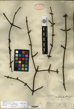 Image of Phoradendron brevifolium