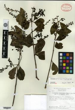Image of Dendropemon polycarpus