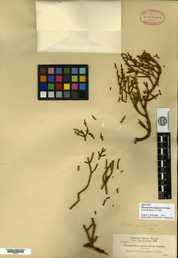 Phoradendron juniperinum image