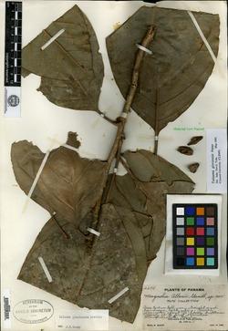 Image of Magnolia allenii