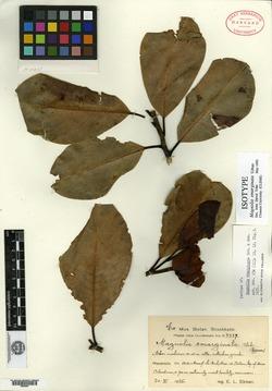 Image of Magnolia emarginata