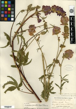 Image of Sidalcea eximia