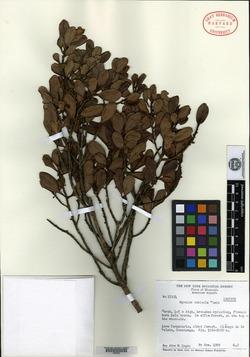 Image of Myrsine nubicola