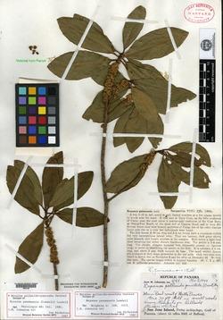 Image of Myrsine pellucidopunctata