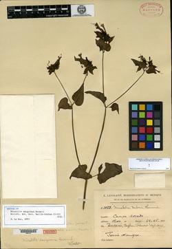 Image of Mirabilis sanguinea