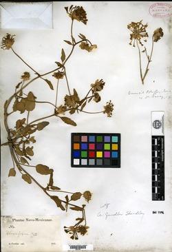 Abronia fendleri image
