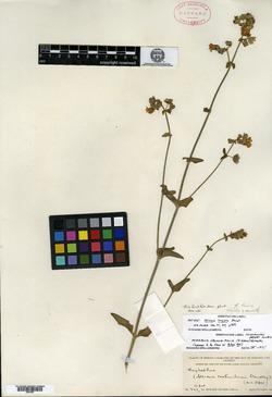Image of Mirabilis longipes