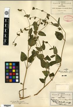 Image of Mirabilis violacea