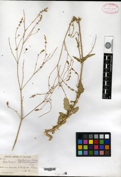 Image of Boerhavia bracteosa