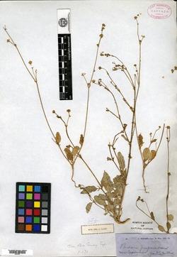 Boerhavia purpurascens image