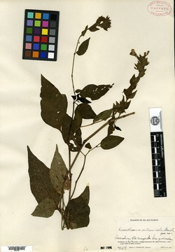 Image of Cuscatlania vulcanicola