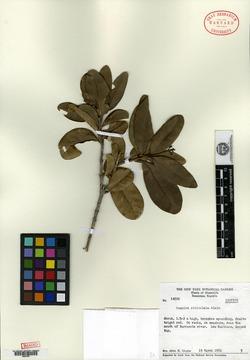 Image of Guapira reticulata