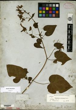 Image of Mirabilis triflora