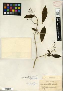 Image of Neea delicatula