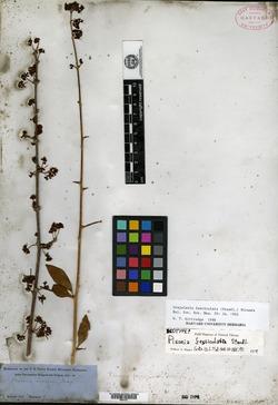 Image of Grajalesia fasciculata