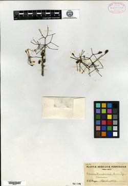 Pisonia macranthocarpa image