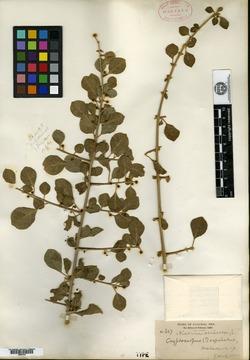 Pisonia capitata image