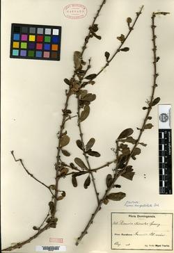 Image of Guapira brevipetiolata