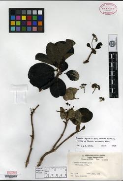 Image of Pisonia byrsonimifolia