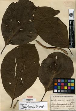 Pisonia subcordata image