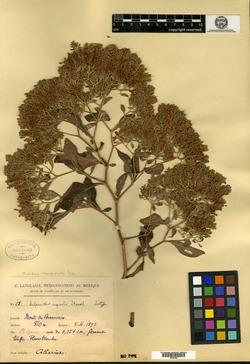 Image of Salpianthus aequalis