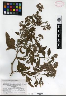 Image of Salpianthus standleyi