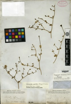 Image of Acleisanthes parvifolia