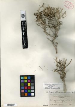 Image of Selinocarpus purpusianus
