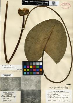 Image of Nymphaea fluviatilis