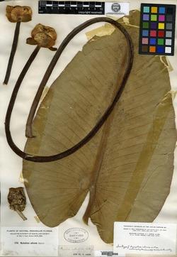 Image of Nymphaea macrophylla