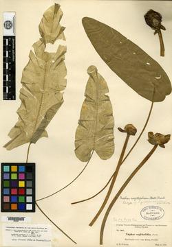 Image of Nymphaea ulvacea