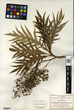 Bocconia arborea image