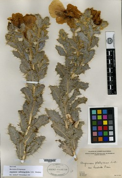 Image of Argemone subintegrifolia
