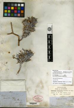 Image of Argemone fruticosa