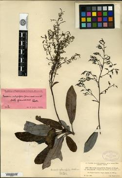 Image of Bocconia glaucifolia