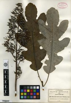 Bocconia latisepala image
