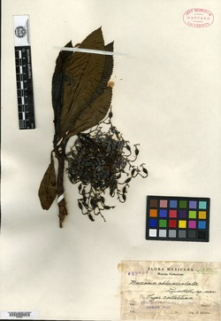 Bocconia oblanceolata image