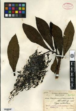 Image of Bocconia oblanceolata