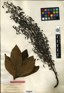 Image of Bocconia vulcanica