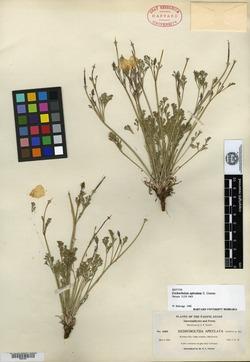 Image of Eschscholzia apiculata