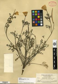 Image of Eschscholzia granulata