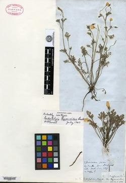 Image of Eschscholzia hypecoides